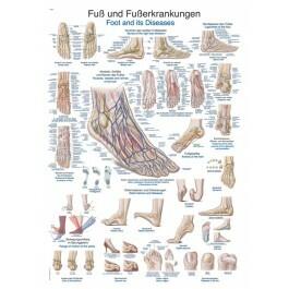 Jalkaterän Anatomia