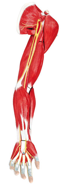 Muscles of the Human Arm, 7 Parts